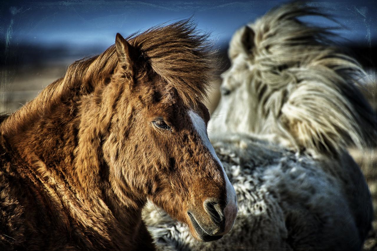Caballo de Islandia
